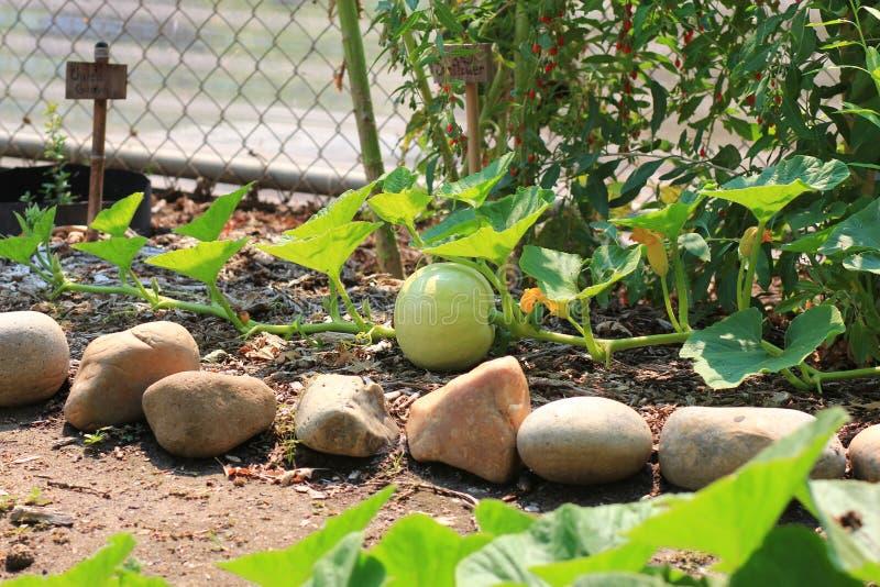 Organicznie dyniowy dorośnięcie na winogradzie zdjęcie royalty free