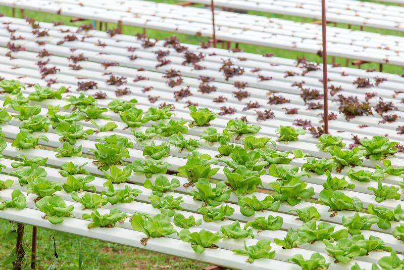 Organicznie gospodarstwo rolne z rolnictwa warzywem hydroponic organicznie warzywo jest biznesowym rolnictwa dorośnięciem zdjęcie stock