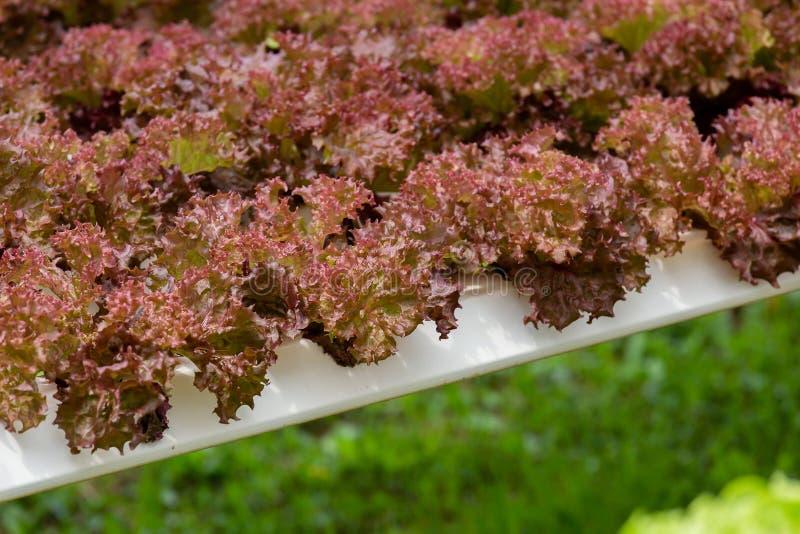 Organicznie gospodarstwo rolne z rolnictwa warzywem hydroponic organicznie warzywo jest biznesowym rolnictwa dorośnięciem obrazy stock