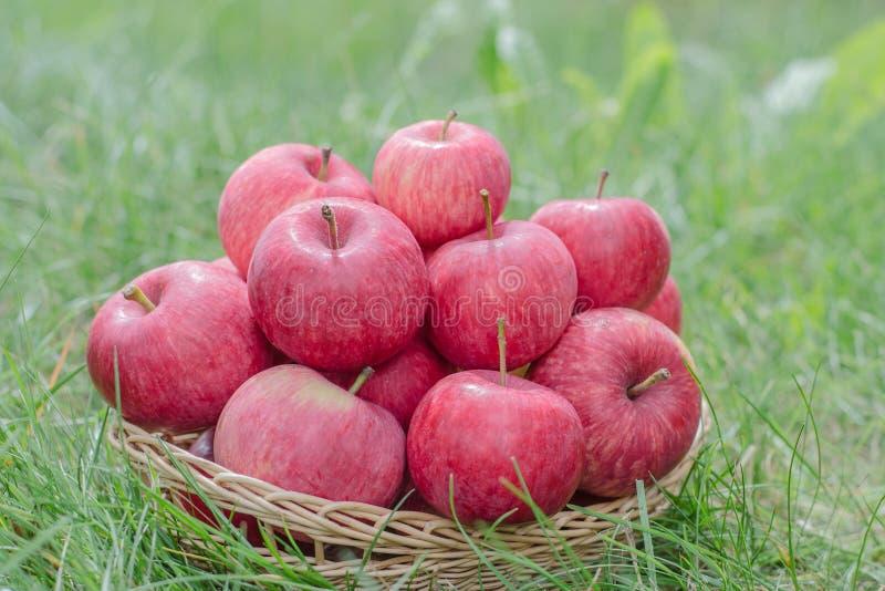 Organicznie jab?ka w koszu na zielonej trawie Żniwo czas, jesień, wiele czerwoni jabłka fotografia royalty free