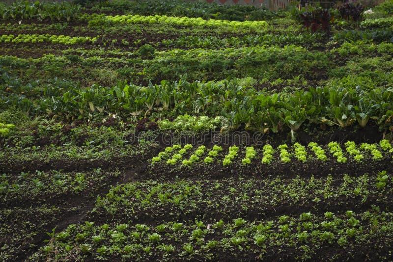 Organicznie jarzynowy ogród, przyszłościowy rolnictwo dla zbawczego jedzenia zdjęcie stock