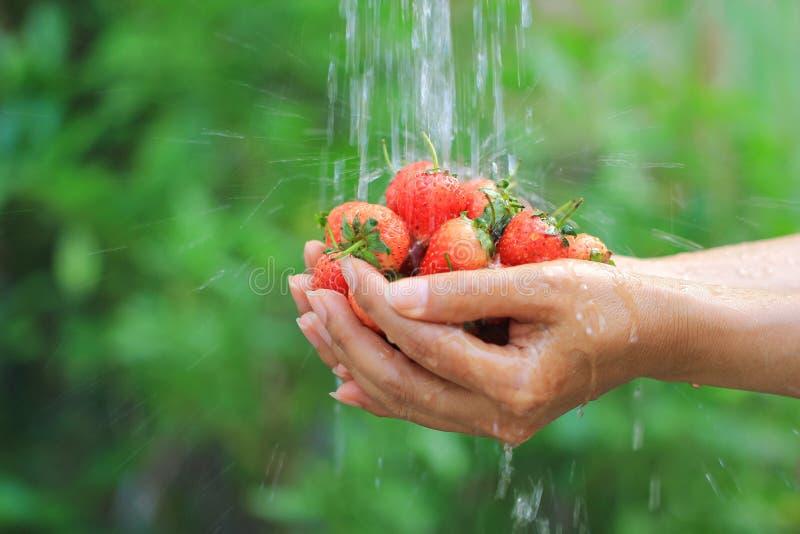 Organicznie, kobiet ręki trzyma świeże truskawki myją pod wodą bieżącą w naturalnym zielonym tle zdjęcia stock