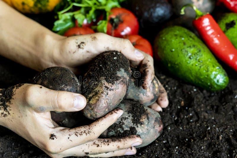 Organicznie krajowa grula w rolnik rękach z innym żniwem na ziemi ziemi obrazy stock