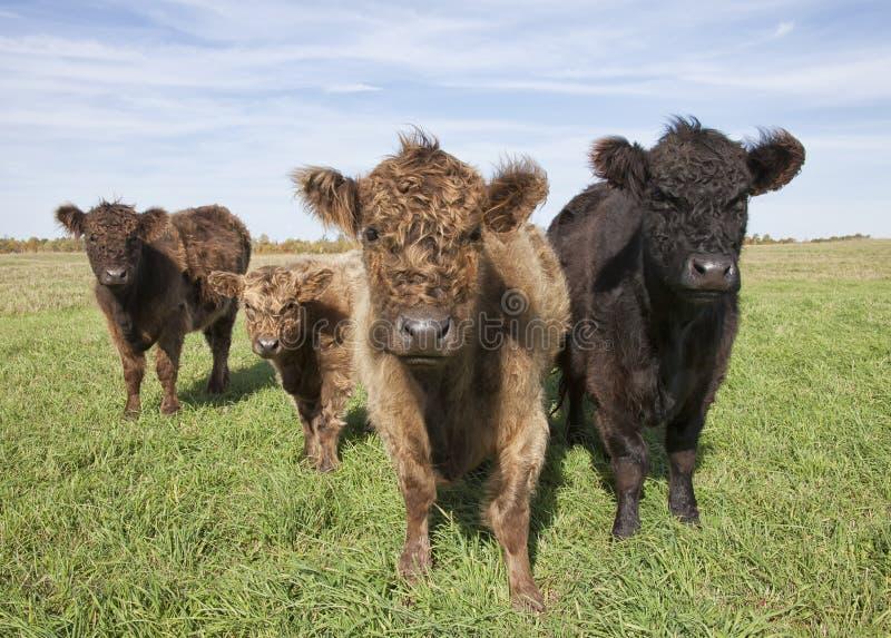 Organicznie krowy bydło obrazy stock