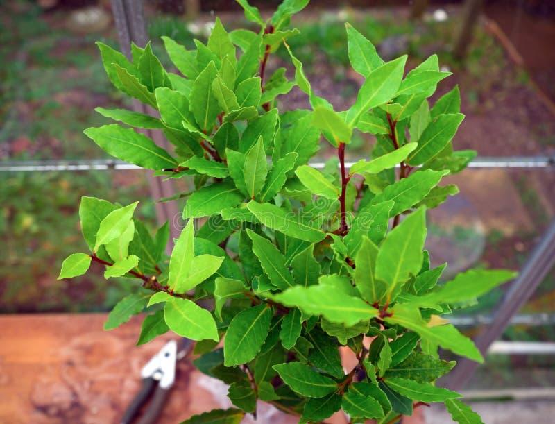 Organicznie laurowy drzewo z podpalanymi liśćmi Laurus nobilis zdjęcia royalty free
