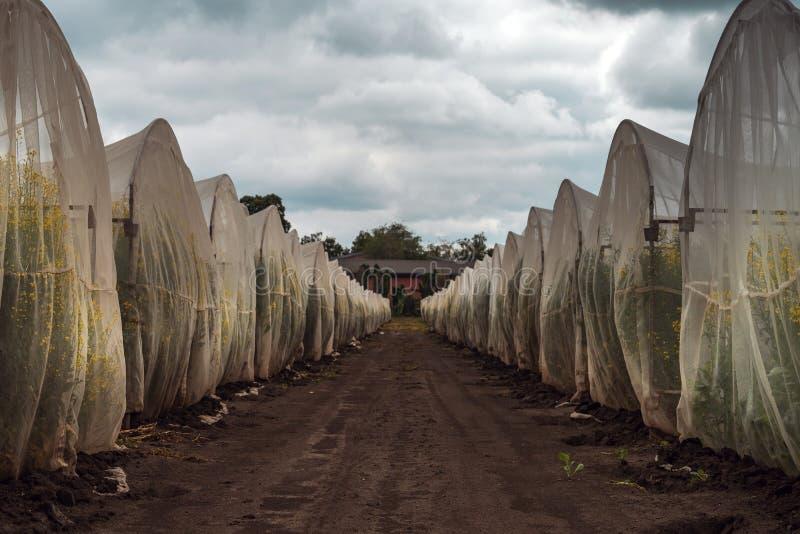 Organicznie podtrzymywalny narastający oilseed gwałta eksperyment w kontrolowanych warunkach fotografia royalty free
