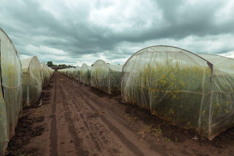 Organicznie podtrzymywalny narastający rapeseed eksperyment w kontrolowanych warunkach fotografia royalty free