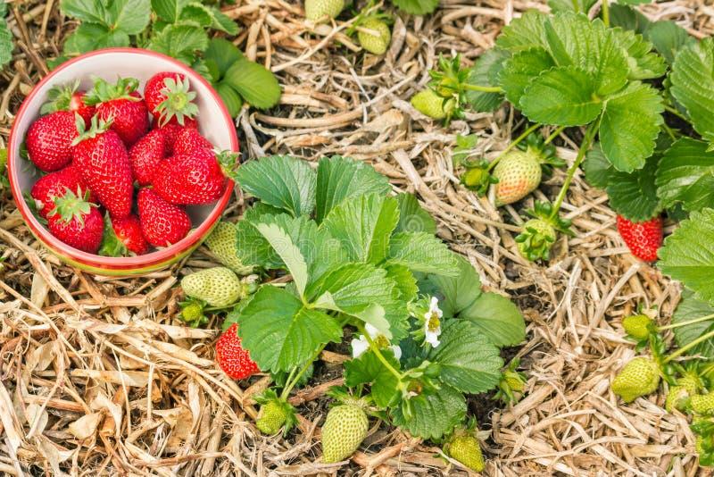 Organicznie rosnąć truskawkowe rośliny z dojrzałymi truskawkami w porcelanowym pucharze obraz stock