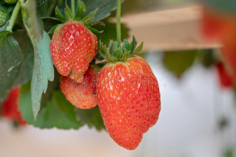 Organicznie słodkie hydroponic truskawki r w szklarni fotografia stock