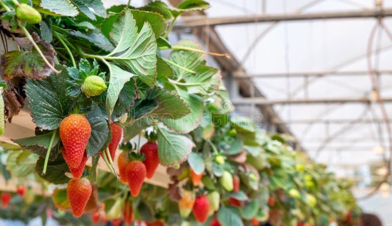 Organicznie słodkie hydroponic truskawki r w szklarni obrazy royalty free