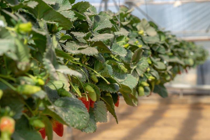 Organicznie słodkie hydroponic truskawki r w szklarni zdjęcia stock