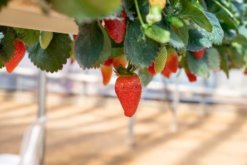 Organicznie słodkie hydroponic truskawki r w szklarni obrazy stock