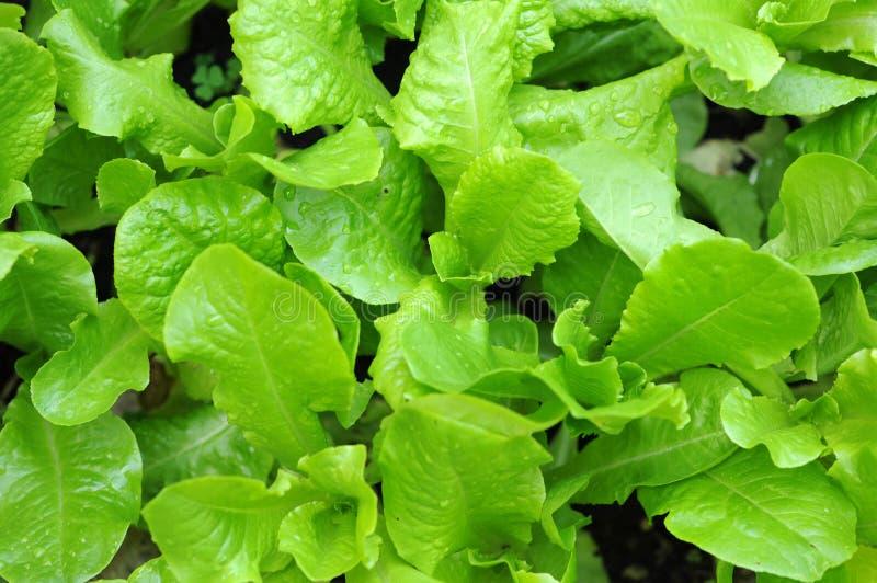 Organicznie sałaty roślina zdjęcia royalty free
