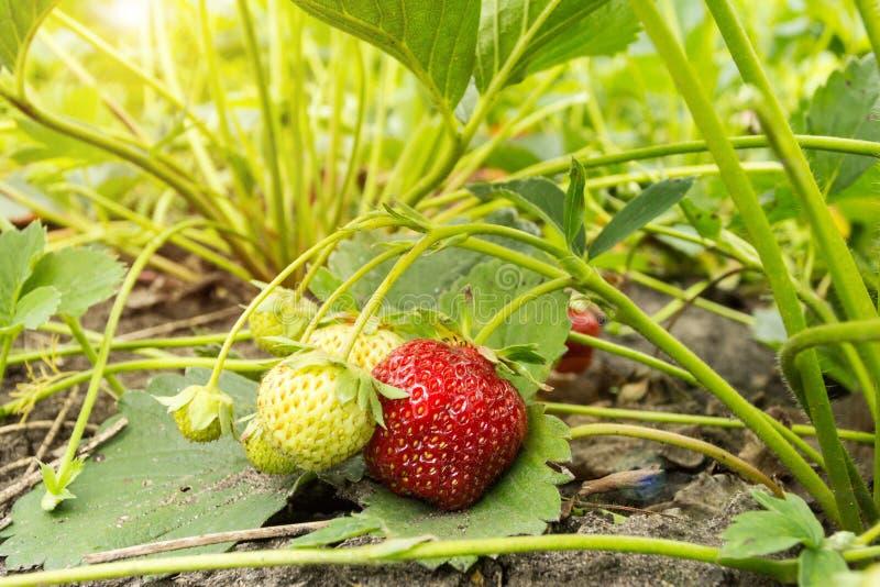 Organicznie truskawka na plantacji obrazy royalty free