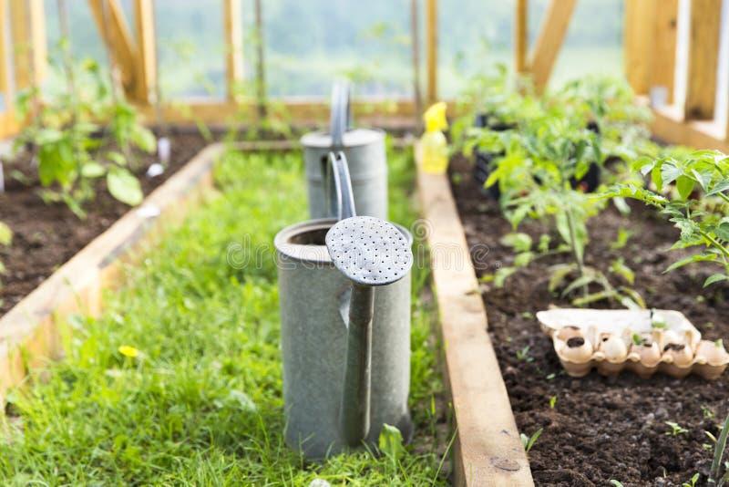 Organicznie uprawiać ziemię, uprawiający ogródek, rolnictwa pojęcie podlewanie puszka w szklarni Natura zdjęcia stock