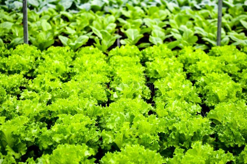 Organicznie vertical uprawia ziemię drymb linie obraz stock