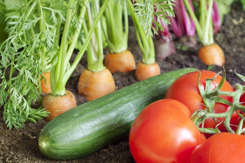 Organicznie warzywa dorośnięcie w ogródzie obrazy stock