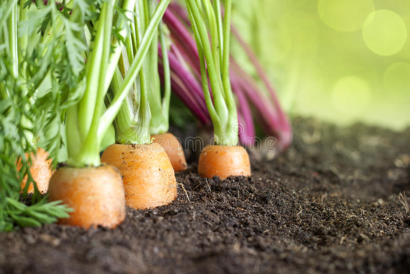 Organicznie warzywa dorośnięcie w ogródzie obraz royalty free