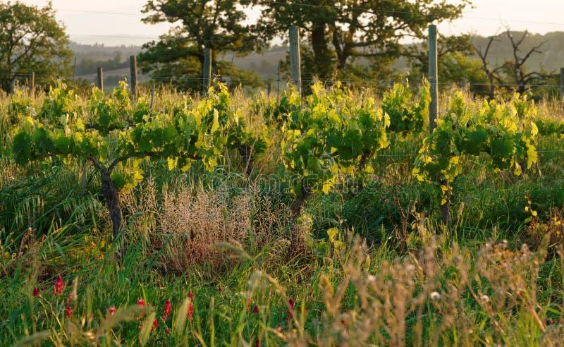 Organicznie winnica w Tuscany, Włochy zdjęcie stock