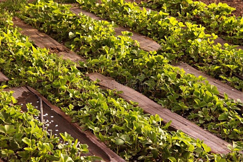 Organisch aardbeiengebied in landbouwbedrijf Rusland Struiken in de lente, wegen van hout worden gemaakt dat royalty-vrije stock afbeeldingen