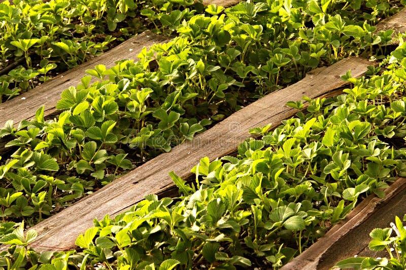 Organisch aardbeiengebied in landbouwbedrijf Struiken in de lente, wegen van hout worden gemaakt dat royalty-vrije stock fotografie