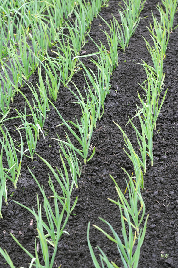 Organisch bebaute Knoblauchplantage lizenzfreies stockfoto