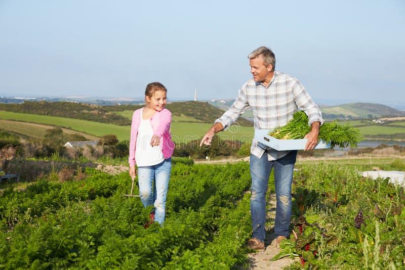 Organisch de Wortelgewas van landbouwerswith daughter harvesting op Landbouwbedrijf royalty-vrije stock foto's