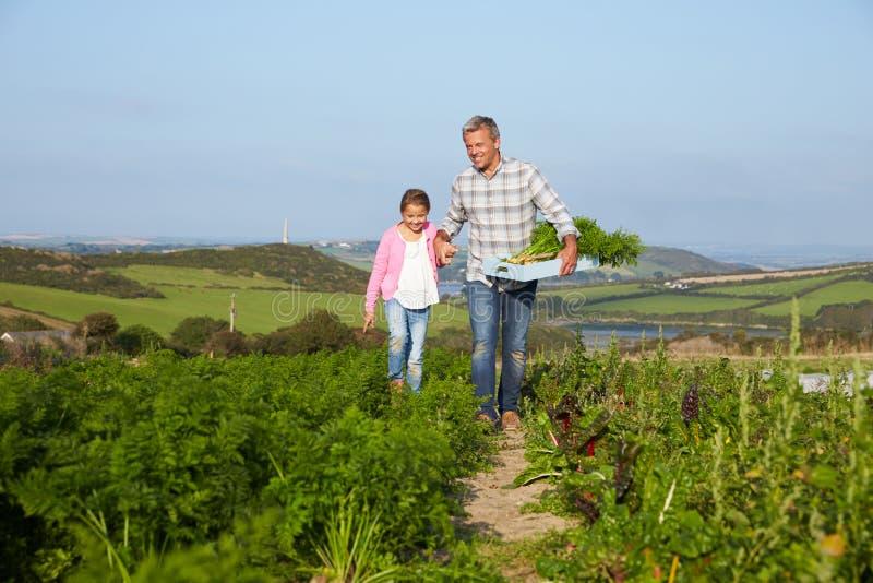 Organisch de Wortelgewas van landbouwerswith daughter harvesting op Landbouwbedrijf stock foto