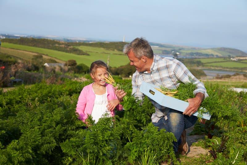 Organisch de Wortelgewas van landbouwerswith daughter harvesting op Landbouwbedrijf royalty-vrije stock afbeelding