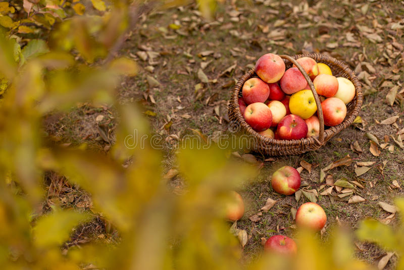 Organisch fruit in tuin stock afbeelding