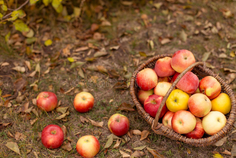 Organisch fruit in tuin royalty-vrije stock fotografie