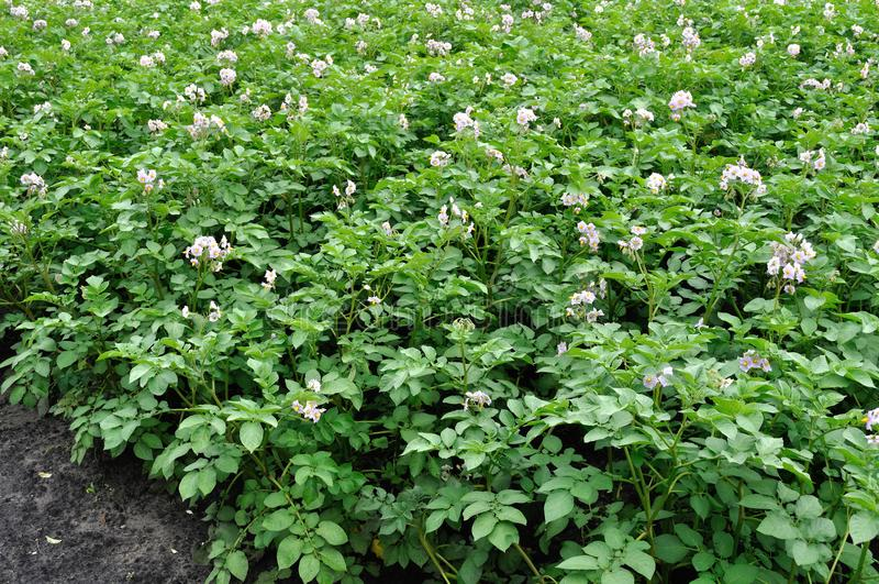 Organisch gecultiveerde aanplanting van aardappel in de plantaardige geep royalty-vrije stock afbeelding