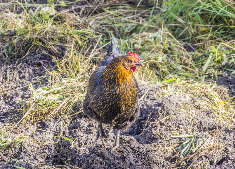 Organisch gehaltenes Huhn lizenzfreies stockbild