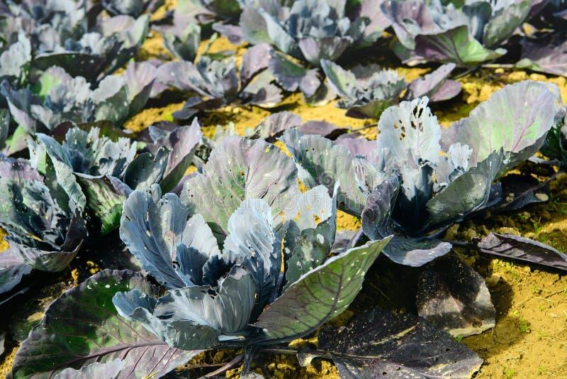 Organisch gewachsene Rotkohlanlagen vom Abschluss lizenzfreies stockfoto