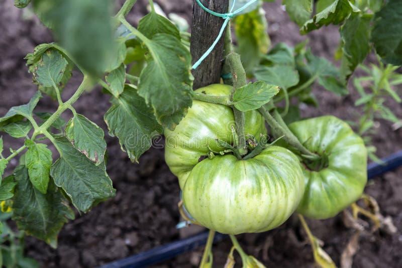 Organisch-grüne Tomaten lizenzfreie stockfotos