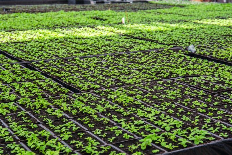 Organisch hydroponic het kinderdagverblijflandbouwbedrijf van de sierplantencultuur Grote moderne serre royalty-vrije stock foto's