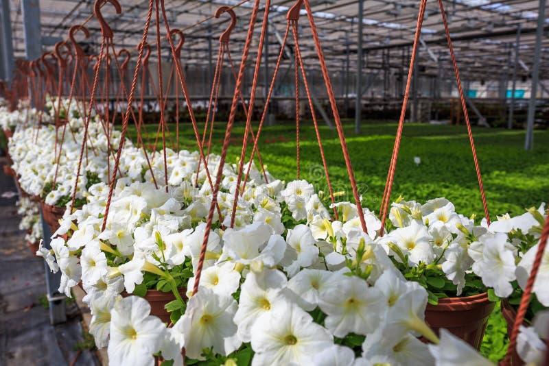 Organisch hydroponic het kinderdagverblijflandbouwbedrijf van de sierplantencultuur Grote moderne serre royalty-vrije stock afbeelding
