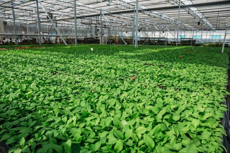 Organisch hydroponic het kinderdagverblijflandbouwbedrijf van de sierplantencultuur Grote moderne serre stock foto