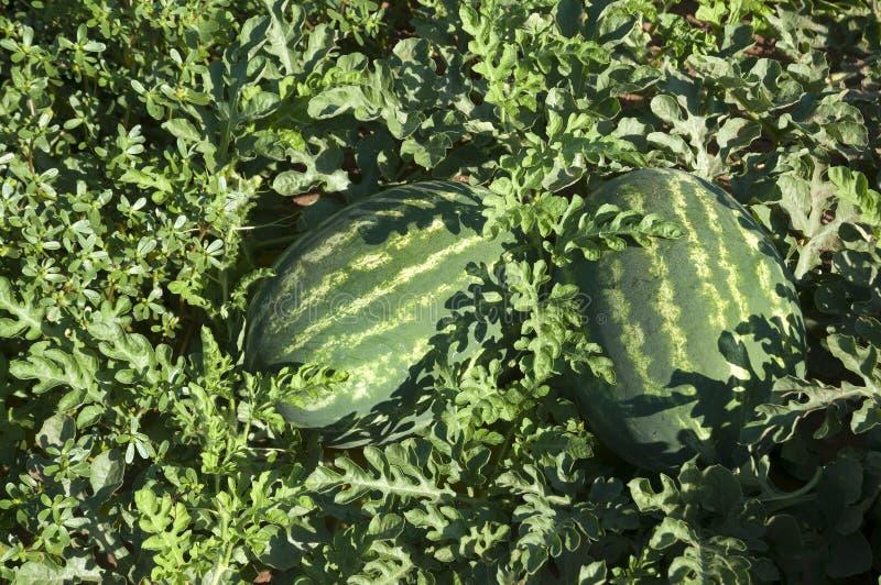 Organisch Watermeloengebied stock afbeelding