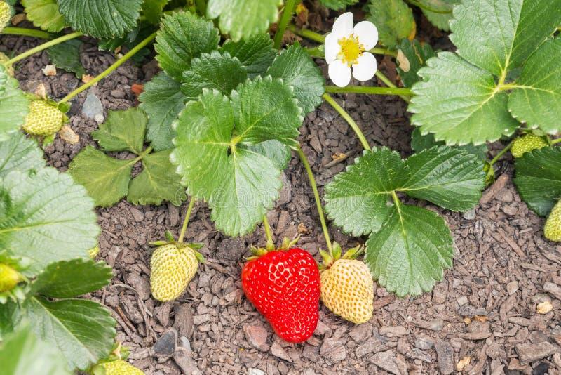 organische aardbeien die in tuin rijpen royalty-vrije stock afbeelding