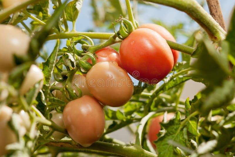 Organische angebaute Tomate auf einer Rebe stockfotografie