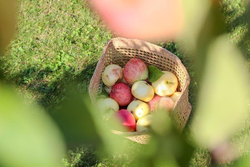 Organische appelen in een mand op het gras in de tuin royalty-vrije stock afbeeldingen