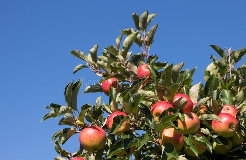 Organische appelen in krat royalty-vrije stock foto