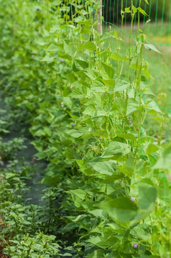 organische Ausrichtung der grünen Bohnen in einem Gemüsegarten stockfoto