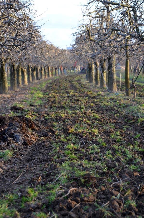 Organische bemesting van een appelboomgaard stock afbeeldingen