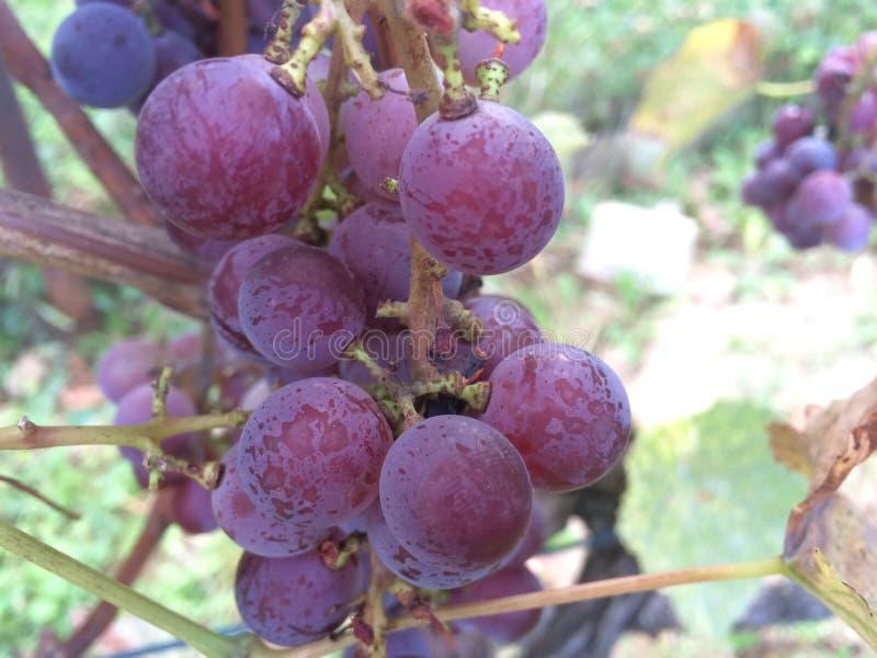 Organische druiven royalty-vrije stock afbeelding