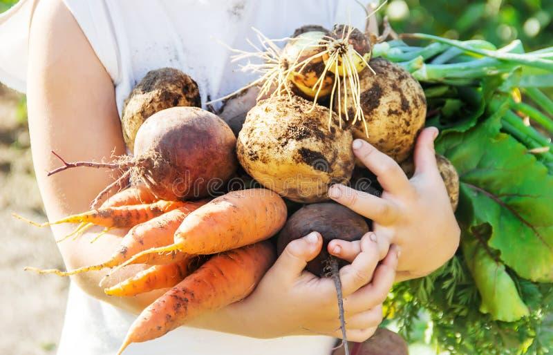 Organische eigengemaakte veggies in de handen van een kind Selectieve nadruk stock afbeeldingen
