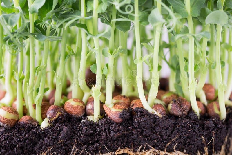 Organische Erbsensprösslinge im weißen backround lizenzfreie stockfotografie