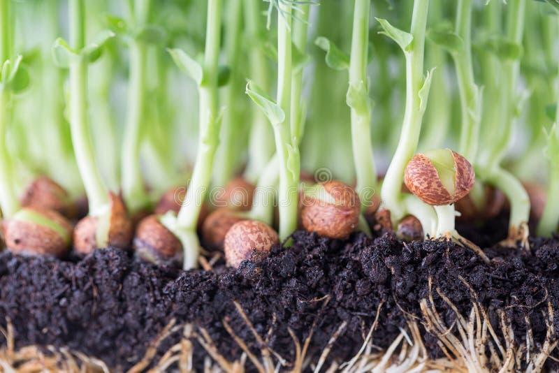 Organische Erbsensprösslinge im weißen Hintergrund stockbilder