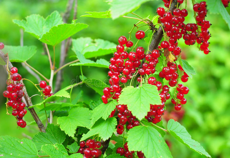 Organische Gartenarbeit Der Rubrum Ribes der roten Johannisbeere oder der roter Johannisbeere stockfotos